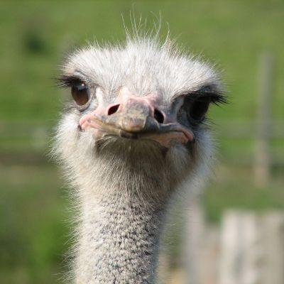 ostrich2_400